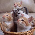 Ношение кошек