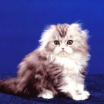 fluff-and-fold-scottish-fold1