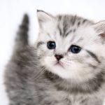 Как выбрать породистого котенка