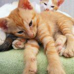 Искусственное вскармливание котят