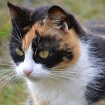 Желаете привлечь удачу, приобретите трехцветную кошку