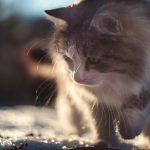 Топ-5 самых умных пород кошек