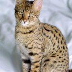 Топ-10 самых удивительных пород кошек